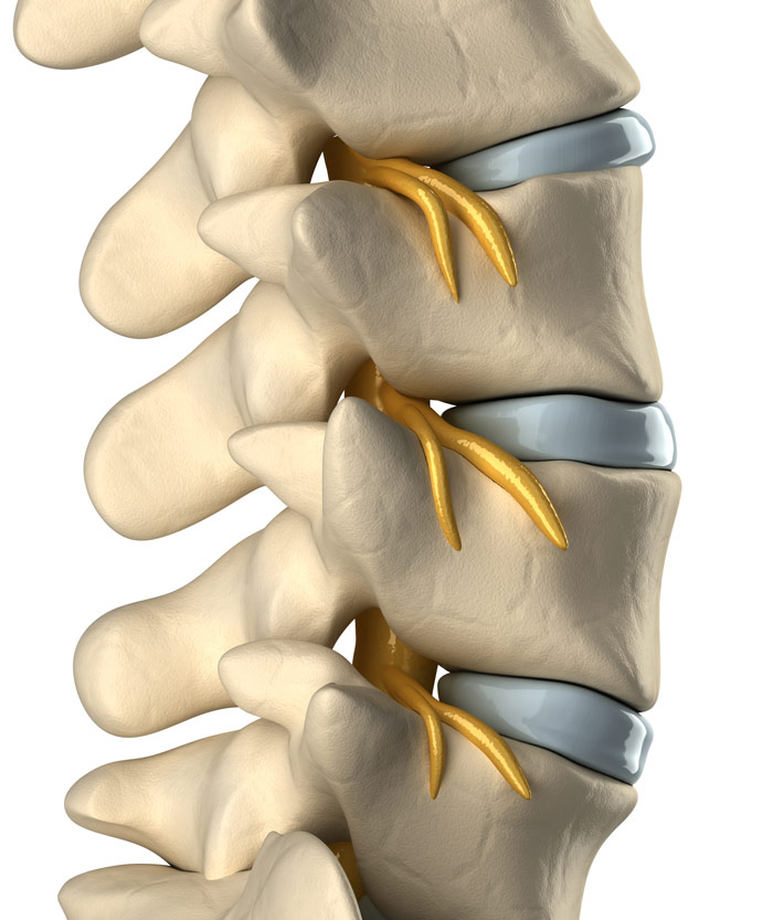 The spine with healthy discs and nerve roots exiting the foramen.